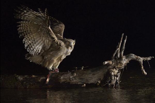 Победитель в номинации «Птицы» - Николай Зиновьев, «Рыбный филин»