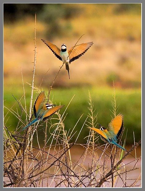 Африка, Кения, саванна, Bee-eaters, Юлия