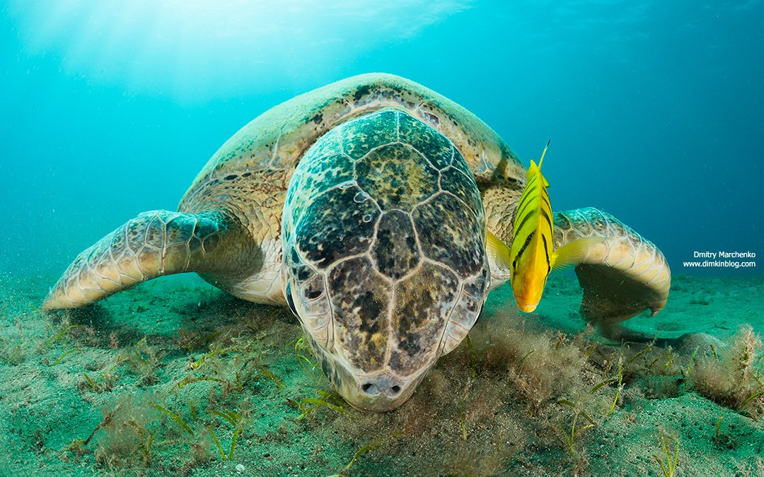 черепаха,морская черепаха,turtle, Дмитрий Марченко