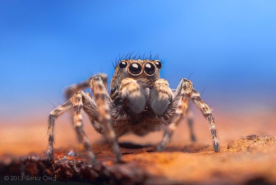 Art, Blue, Jumping Spider, Oleg Serkiz, Salticidae, Sitticus pubescens, Sky, Олег Серкиз, Oleg Serkiz