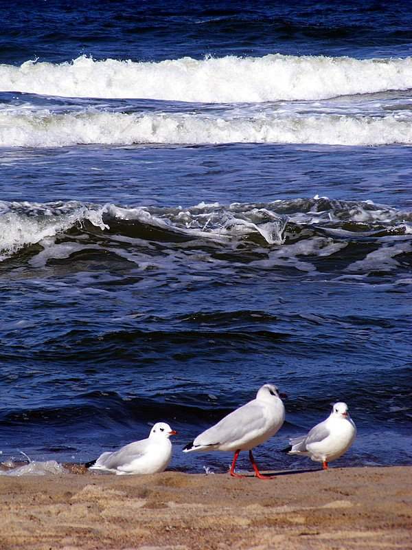 чайки, светлогорск, балтика, море, берег, шторм, волны, ветер, Andi