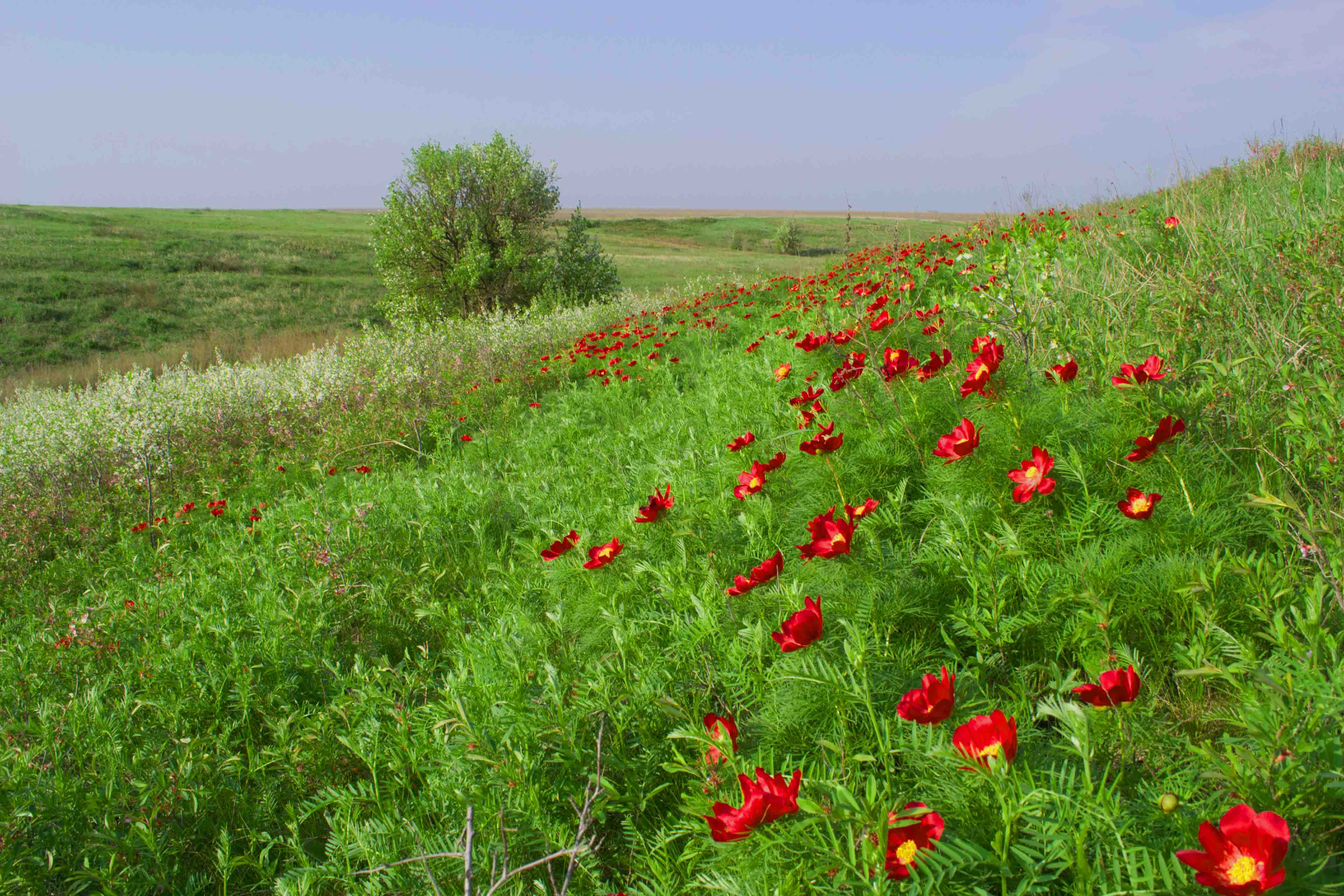 Степь цветы название и фото