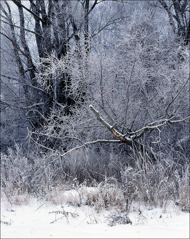 деревья, изморозь, ноябрь,, Victor Pechenev