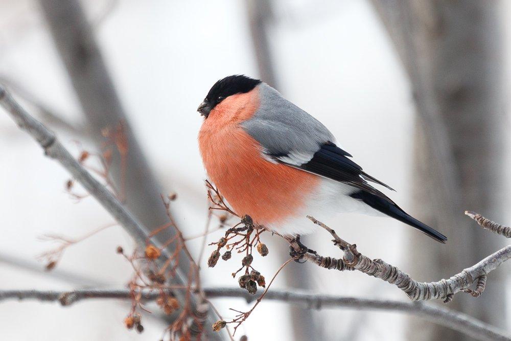 птицы, снегирь, Сергей Краснощёков