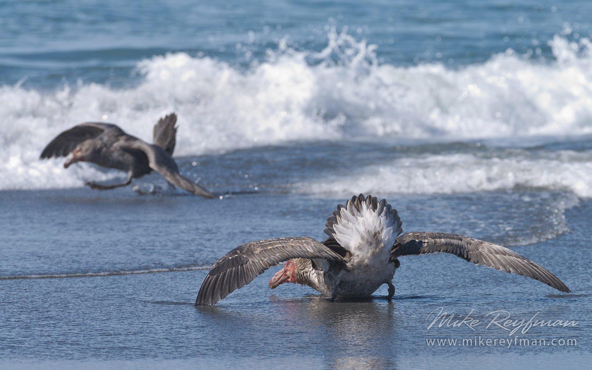 beachmaster., southern, giant, petrels., macronectes, giganteus., , st, andrews, bay., south, georgia, island., sub-antarctic., Майк Рейфман