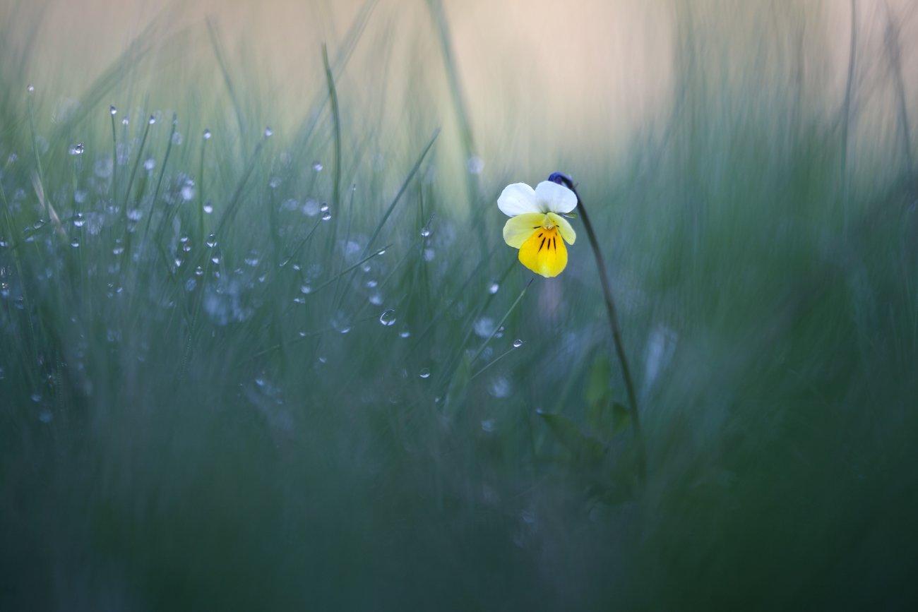 viola arvensis, полевые цветы, фиалка полевая, Леонид
