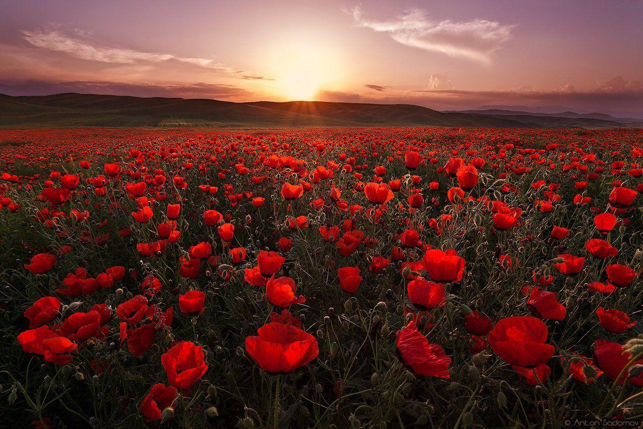 маки, поле, закат, цветы, таджикистан, Антон Садомов
