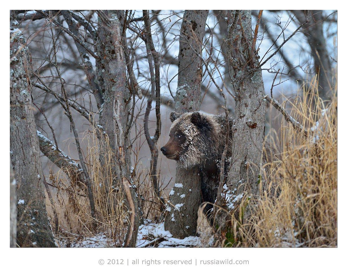 бурый медведь, осень, камчатка, Николай Зиновьев