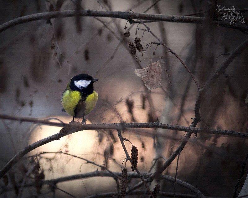птица, синица, береза, ветка, зима, природа, Ольга Глушкова