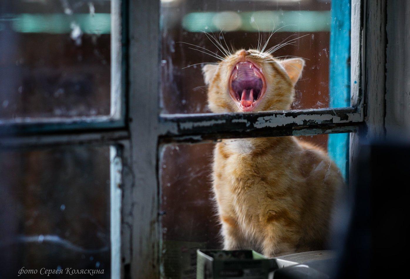 Деревня, Кот, Кошка, Песня, Рыжий, Рыжий кот, Серенада, Сергей Коляскин