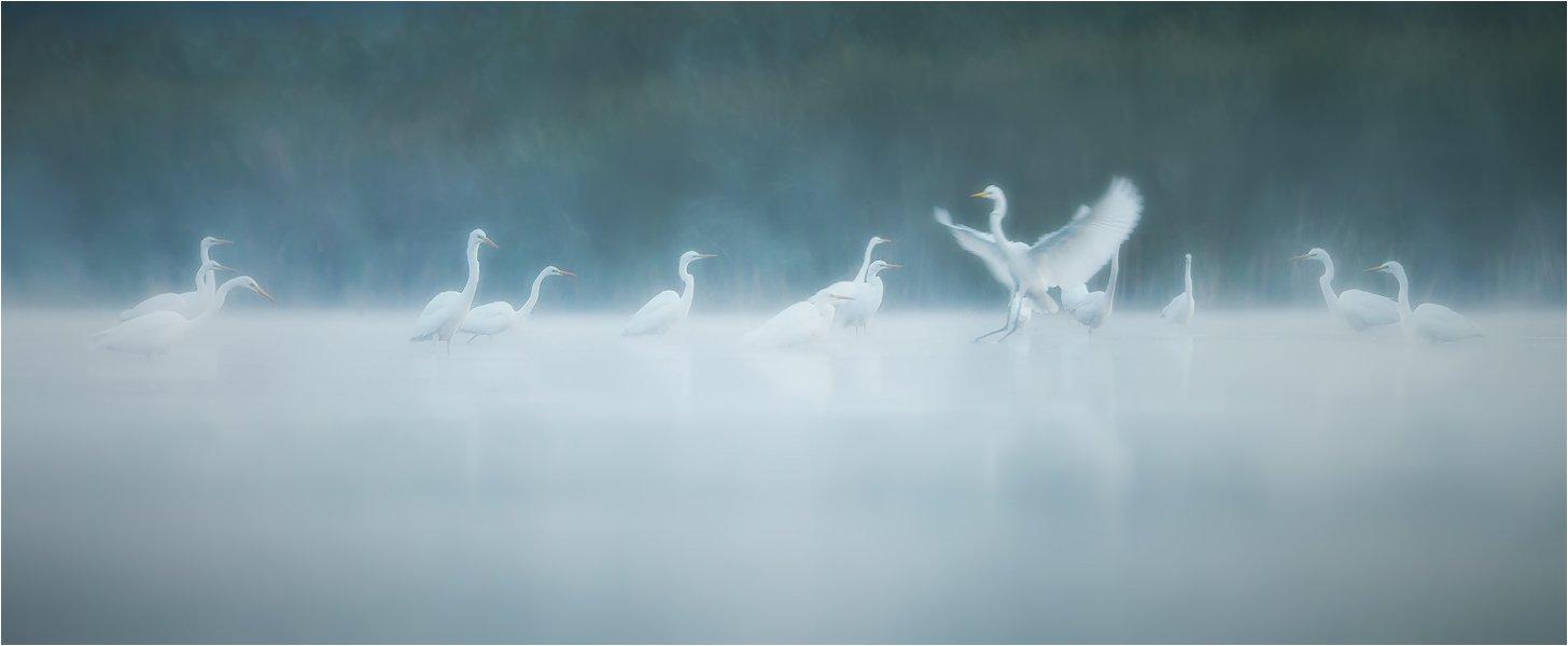 Birds, Great White Egret, Wildlife, Большая белая цапля, Денис Кривой