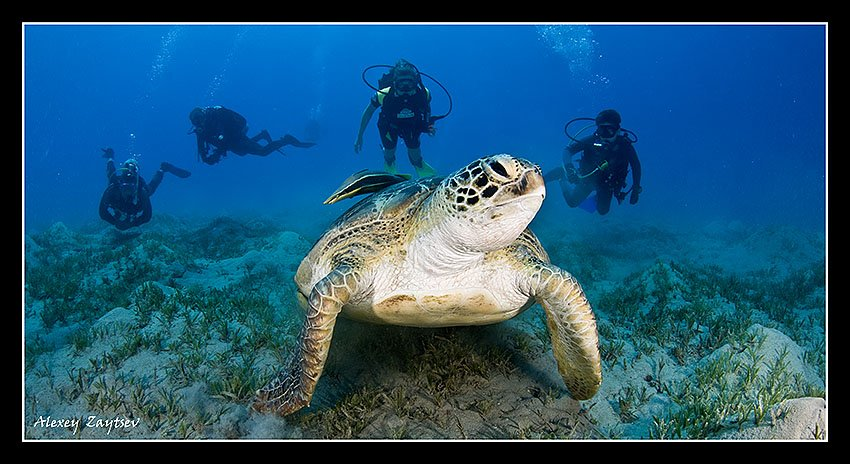зайцев, обучение, подводной, фотографии, , красное, море, черепаха, Алексей Зайцев