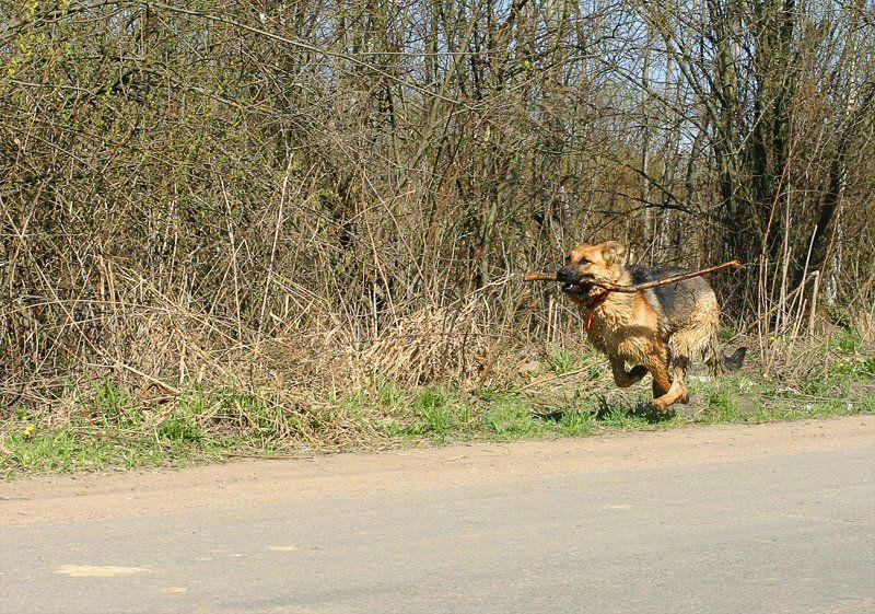 собака, овчарка, бег, апорт, Vlad Shanalin