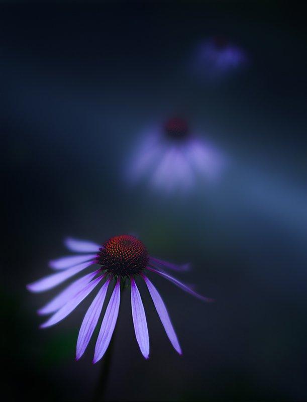 bokeh, clouse up, echinacea, flowers, Сергей Хромов