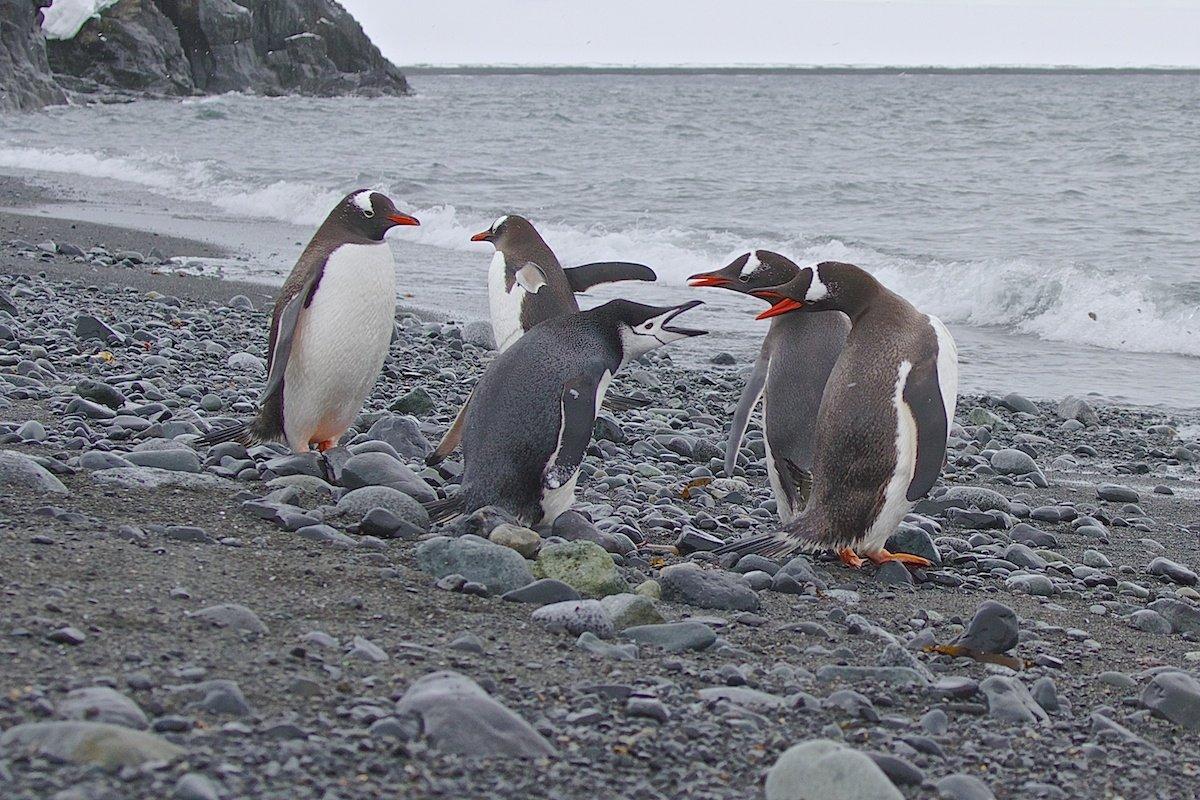 антарктика, дикие животные, пингвины  chinstrap, пингвины papua, природа, путешествие, Мазурин Евгений
