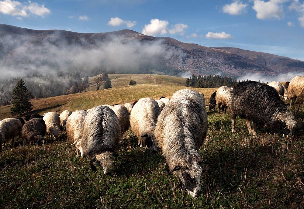 овца, sheep, Скалин Алексей