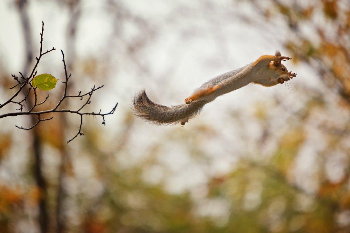 белка полет орех осень, aes