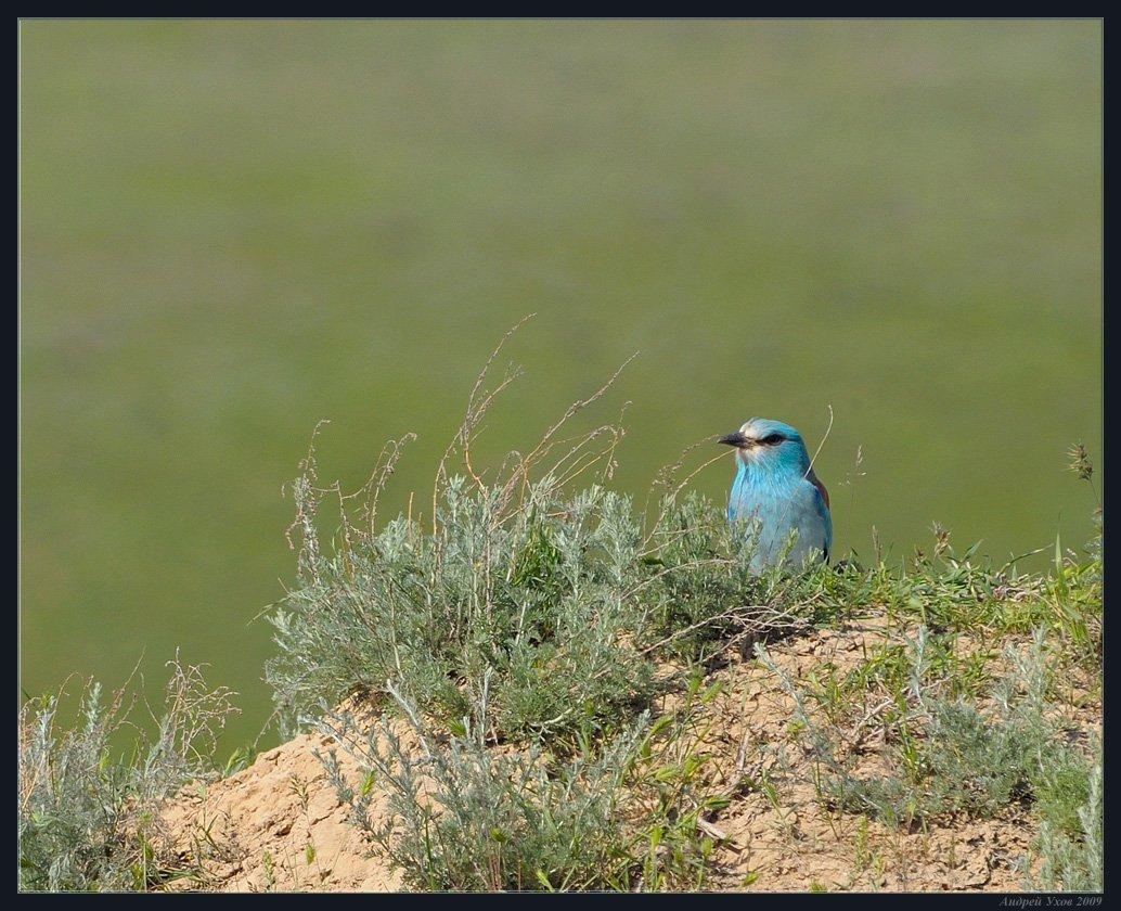 синяя,птица,природа,весна,горы,куст, Андрей Ухов