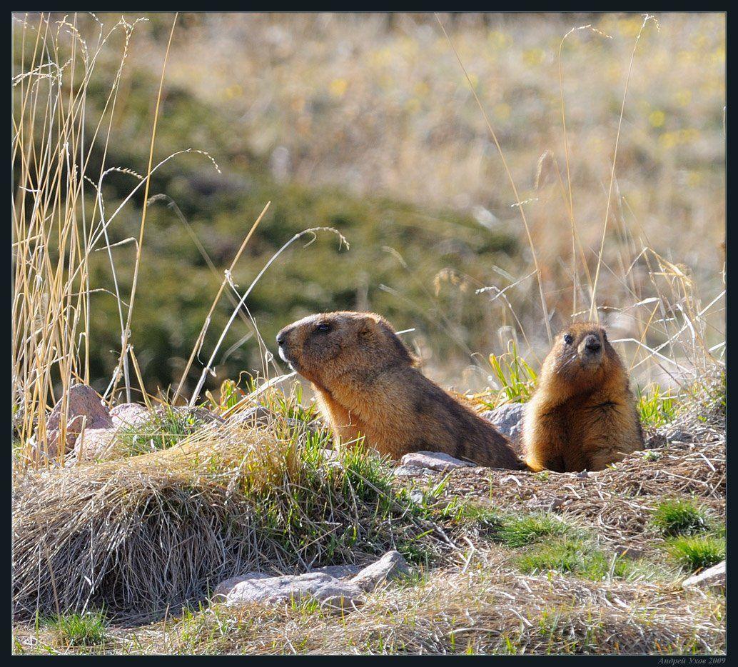 природа,горы,весна,жизнь,животные,сурки,нора,семья,счастье, Андрей Ухов