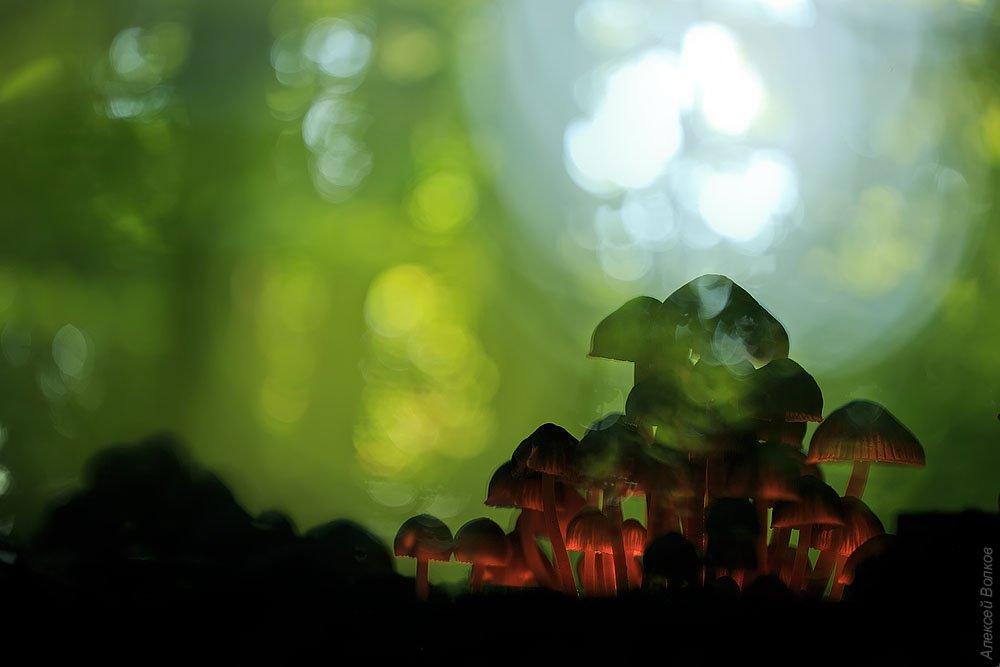 грибы, лес, Алексей Волков