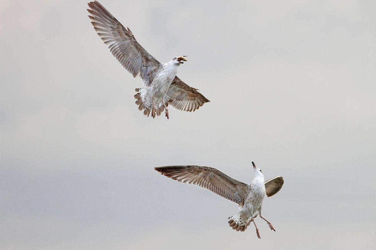 animals,birds,gulls, 7d, 400mm, животные, птицы, чайки, Yuri Gomelsky
