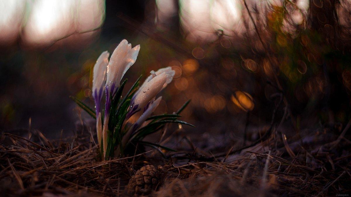 весна, макро, цветы, Олег Зкл
