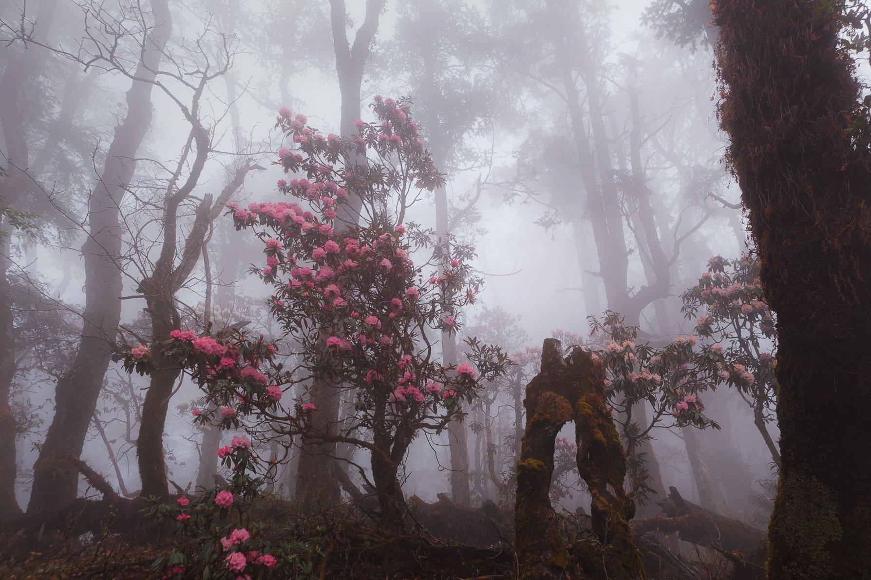 непал, гималаи, лес,туман, цветение, горы, Купрацевич Дмитрий