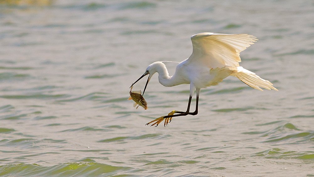 animals,birds,egret, fish,7d,400mm, животные,птицы,рыба, Yuri Gomelsky