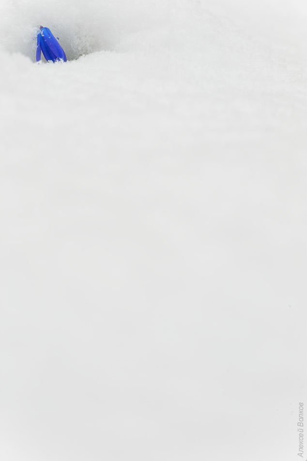 пролеска, снег, апрель, сцилла сибирская, воронеж, Алексей Волков