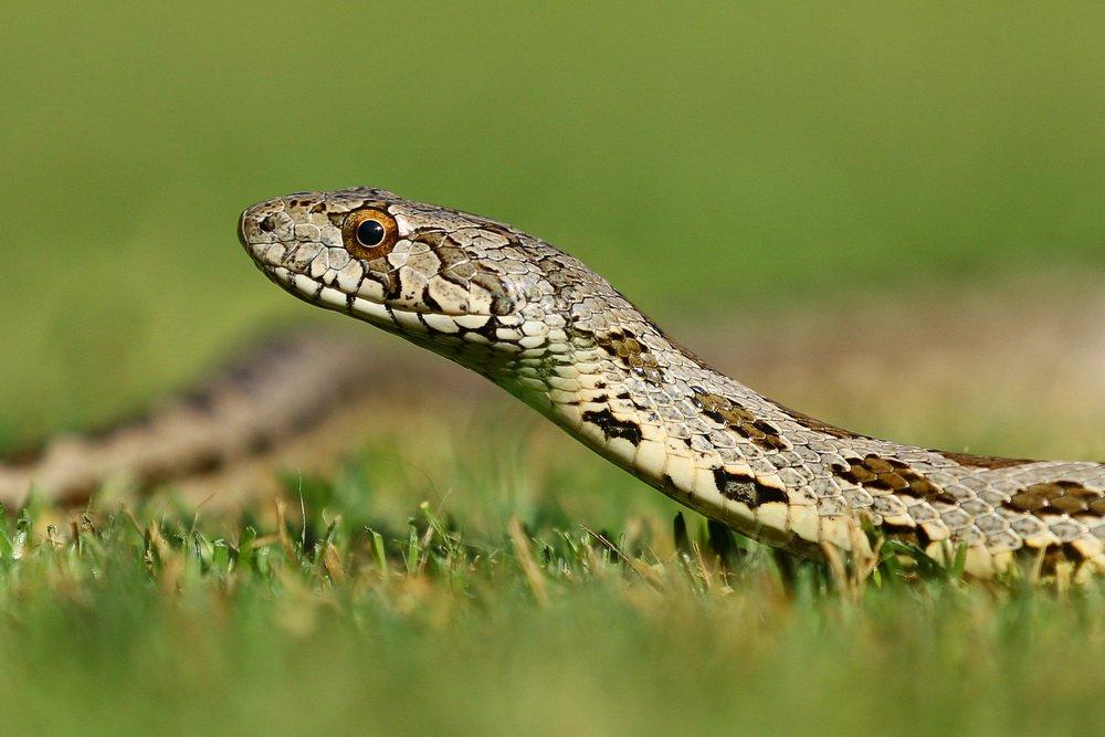 snake,, Hasan Baglar