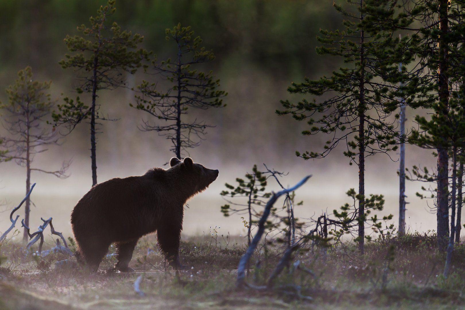 белые ночи, болото, бурый медведь, карелия, лес, туман, фотоохота, Роман Мурушкин