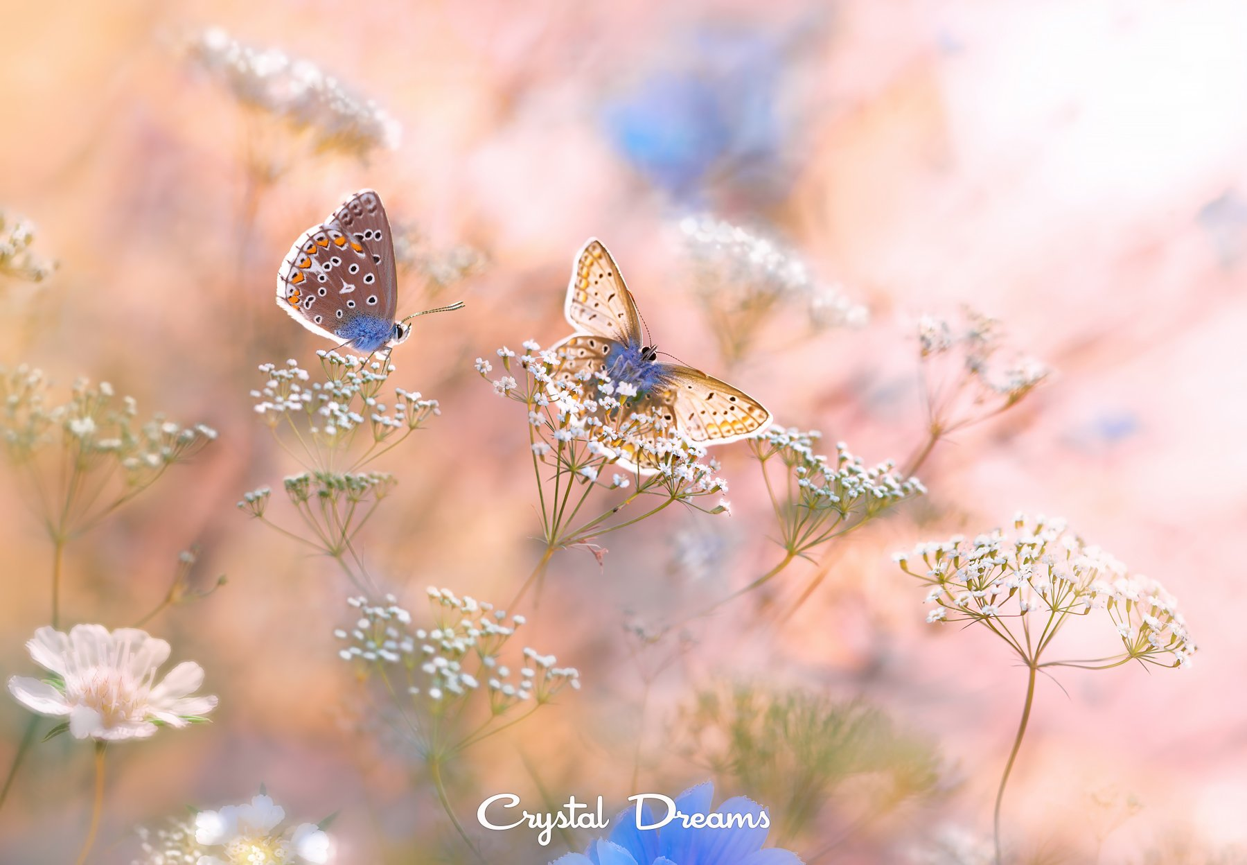 Butterfly, Color, Crystal Dreams, Flower, Macro, Meadow, Nature, Summer, Крылова Татьяна