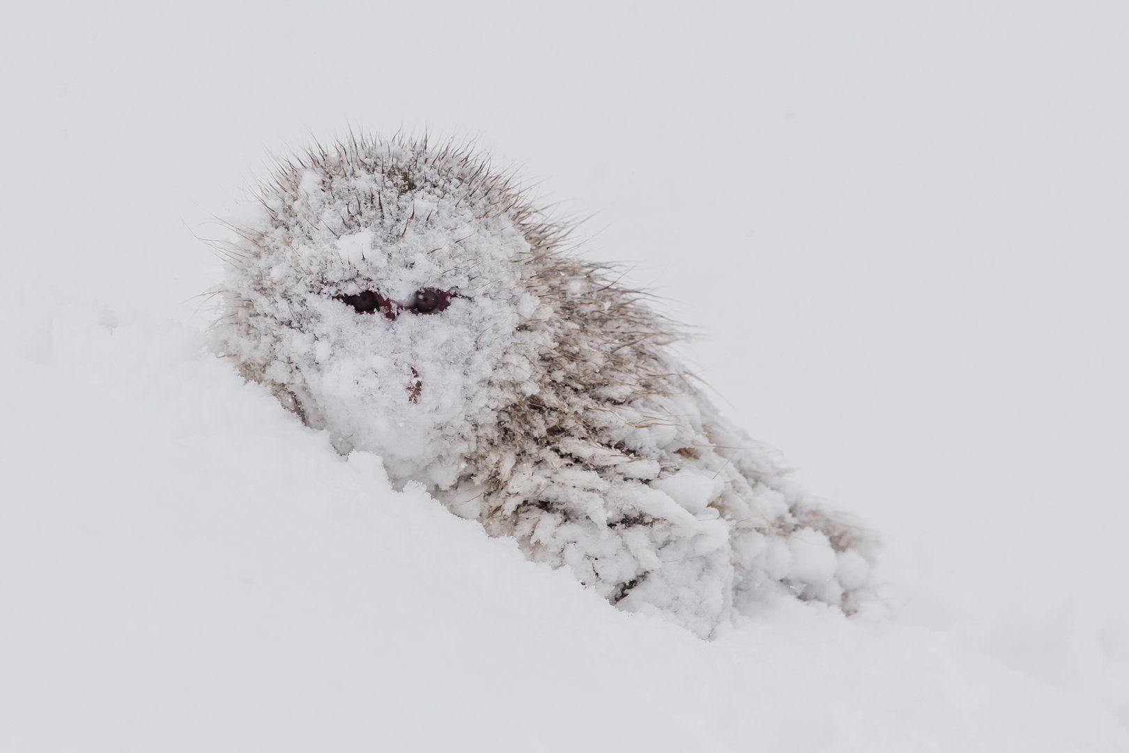 обезьяна, япония, макака, снег, Роман Мурушкин