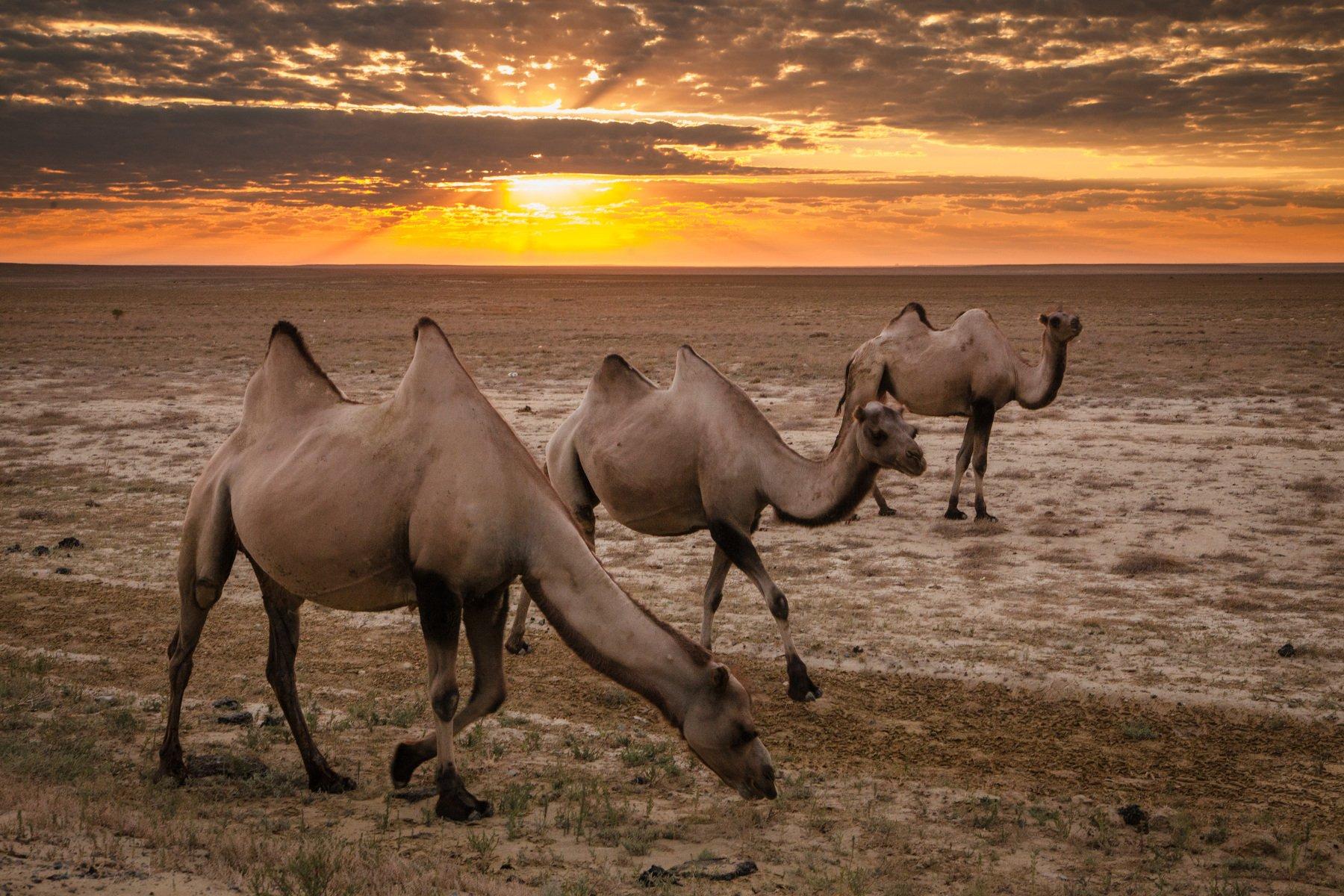 рассвет, солнце, утро, пустыня, верблюды, песок, Иван Куликов
