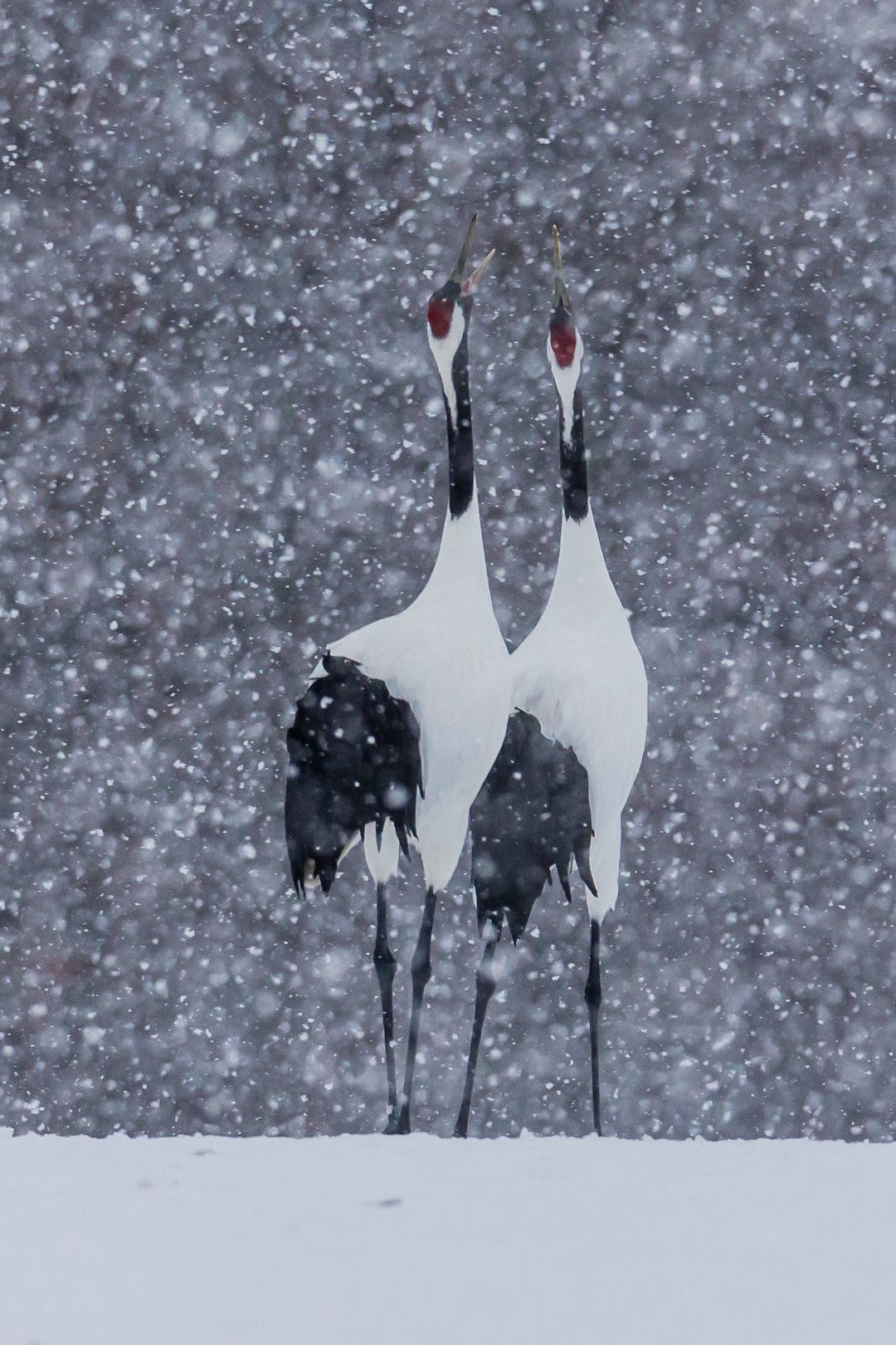 журавль, зима, пара, снег, япония, Роман Мурушкин
