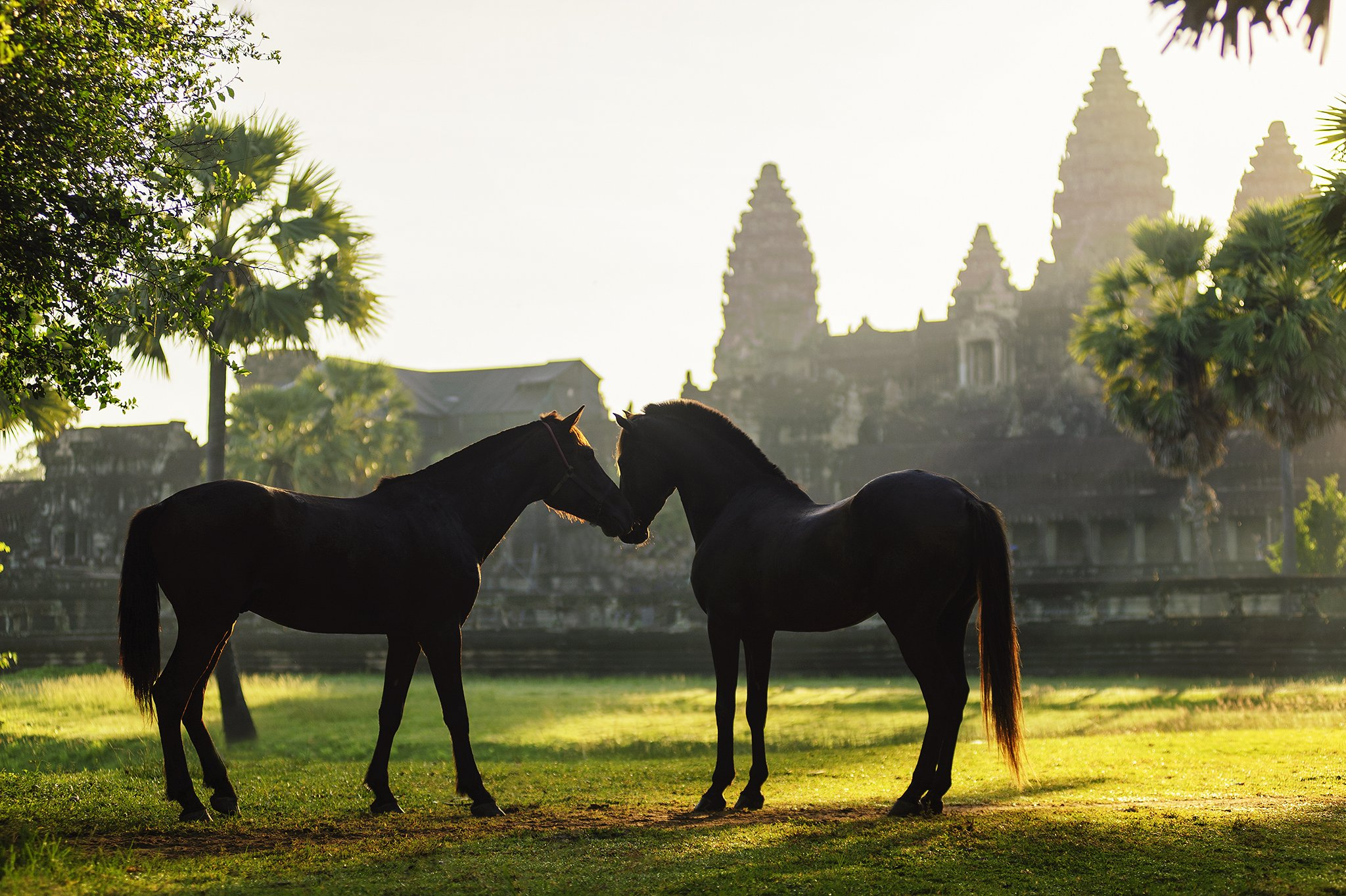 Angkorwat, Animals, Asia, Asian, Heritage, Horse, Light, Moment, Sunlight, Saravut Whanset