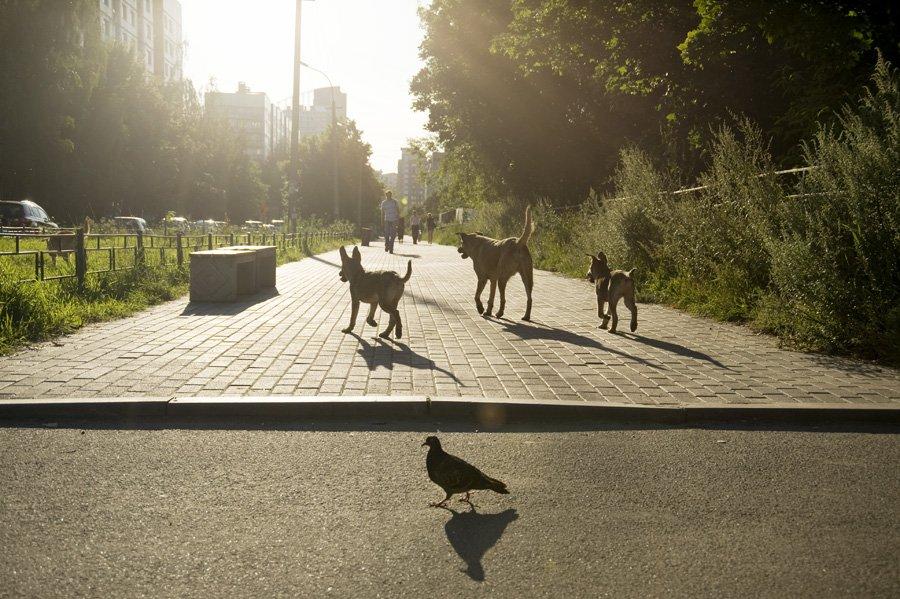собаки,голубь,город,контровой,аллея, Евгений Пугачев.