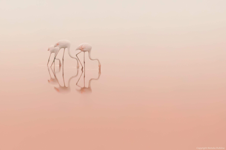 безмолвие, безмятежность,тишина, настроение, нежность, трио, озеро, природа, птицы, рассвет, спокойствие,утро, фламинго, розовый, Наталья Рублина