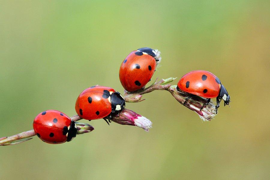 ladybug animals red canon macro autumn, mehmet