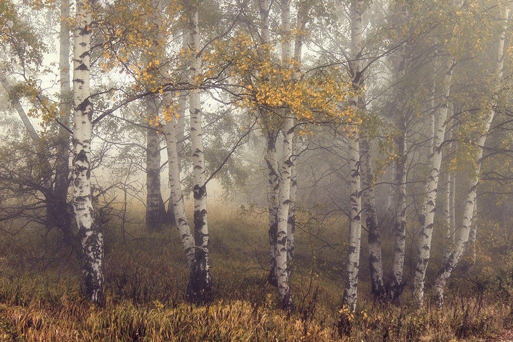 Березы, Лес, Осень, Туманъ, Ирина Костова