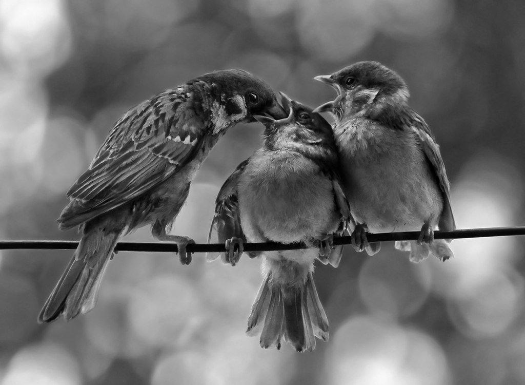 птицы, воробьи, Rita Gadar