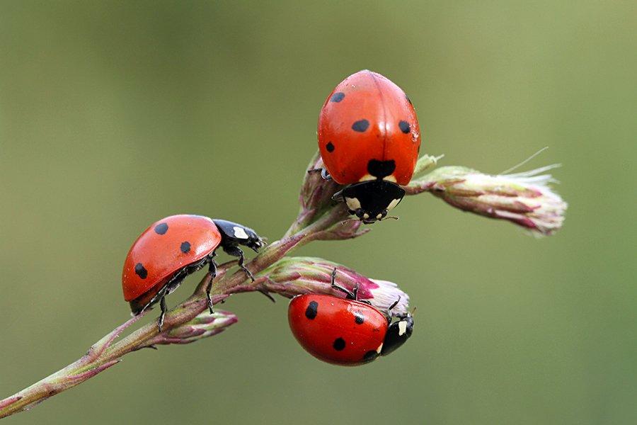 macro nature ladybug canon animals, mehmet