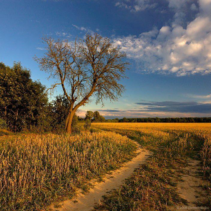 поле,пейзаж,вечер,лето,дерево, Дмитрий Бойко