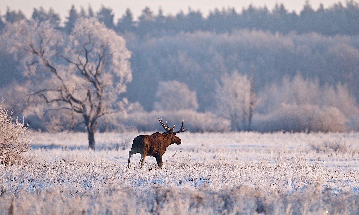 дикая природа, лось, Мазурин Евгений