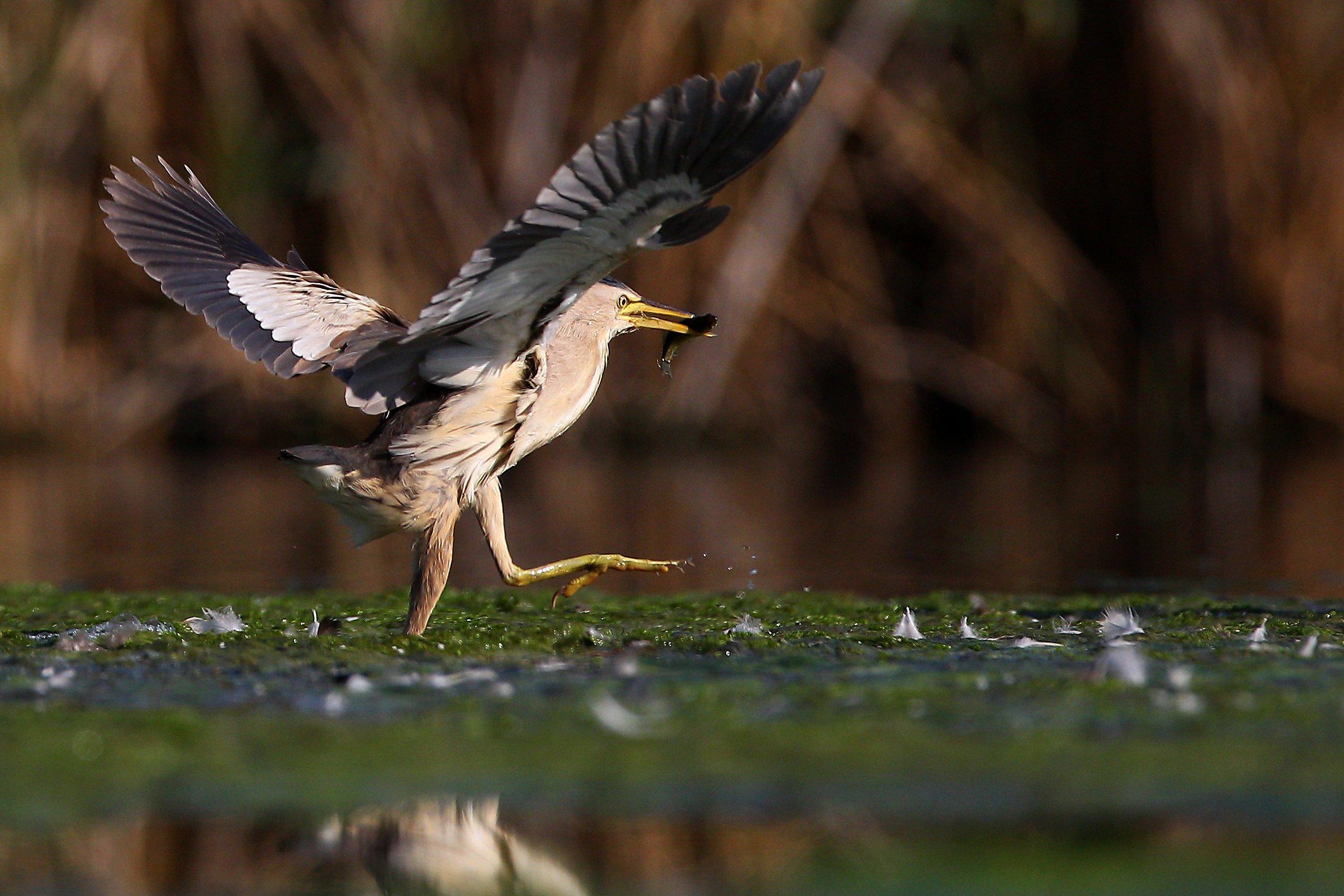 #birds, #fauna, #nature, #wildlife, #малая выпь, #природа, #птицы, #фауна, #цапля, Константин Слободчук
