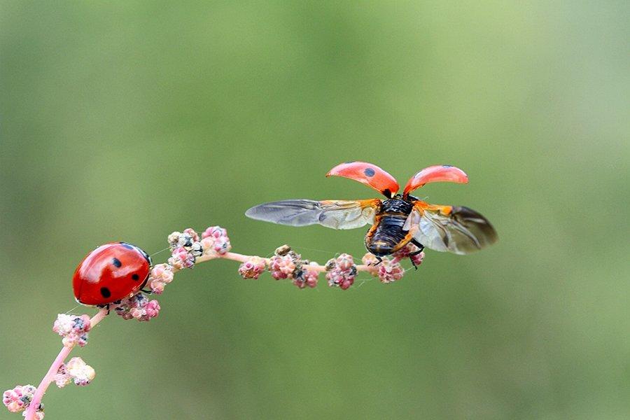 ladybug animal nature, mehmet