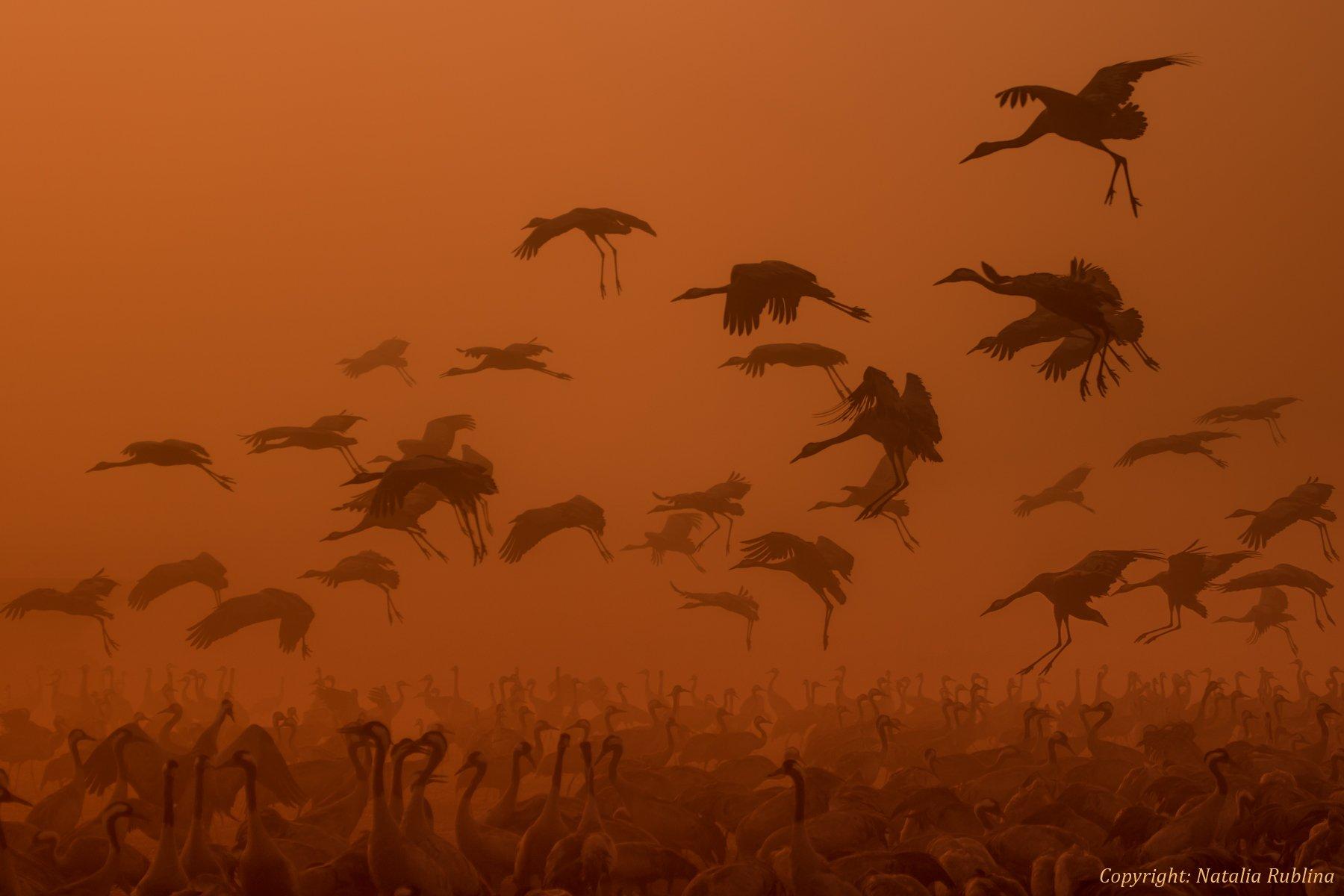 армия, восход, восход солнца, декабрь, животные, журавли, заповедник, золотой рассвет, настроение, осень, пожар, полёт, природа, птицы, рассвет, свет, стая, утро, Наталья Рублина