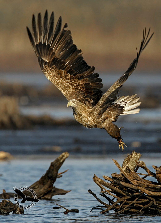 орлан белохвост, haliaeetus albicilla, white-tailed eagle, Eugenijus Kavaliauskas