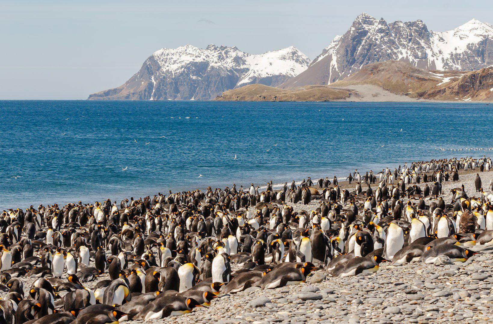 King Penguin, South Georgia, Королевский пингвин, Южная Георгия, Роман Мурушкин
