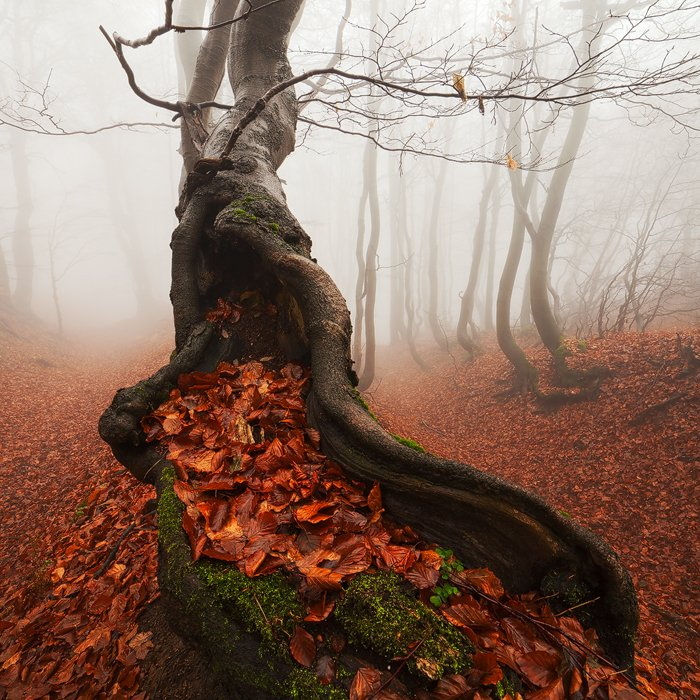 Ancient, Autumn, Beech, Fall, Fog, Foliage, Forest, Leaves, Mist, Old, Tree, Trunks, Martin Rak
